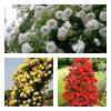 Комплект плетистих троянд,  (3 садж.в упаковці) фото 1