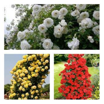 Комплект плетистых роз (3 саж.в упаковке) фото 1