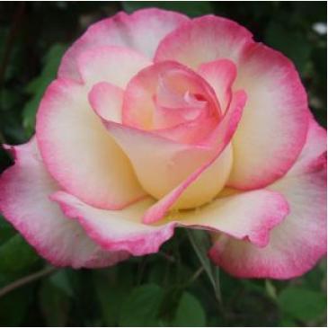 Плетиста троянда FAMILY SWEET фото 1