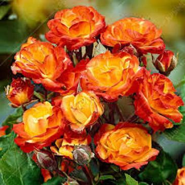 Поліантова троянда AVENUE OF STARS фото 1