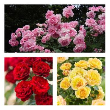 Комплект поліантових троянд, (3 садж.в упаковці) фото 1