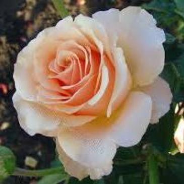 Чайно-гібридна троянда Solo Cream (ДП) фото 1