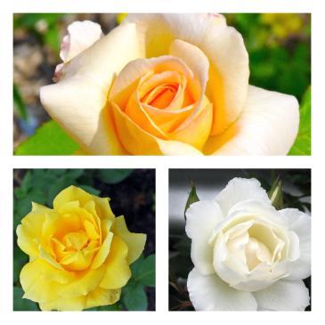Комплект чайно-гібридних троянд, (3 садж. в упаковці) фото 1