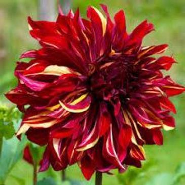 Жоржина BOHEMIAN SPARTACUS 1 корн. фото 1