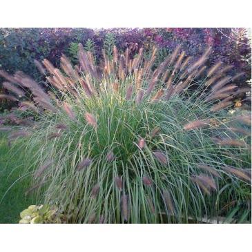 Трава декоративная HAMELN, 1 корн. фото 1