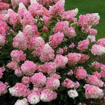 Гортензія мітловидна ВАНІЛА ФРЕЙЗ / Hydrangea paniculata Vanilla Fraise фото 1