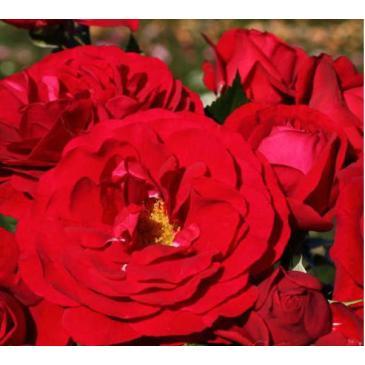 Троянда Кордес флорібунда BORDEAUX / Бордо, серія Рустік фото 1