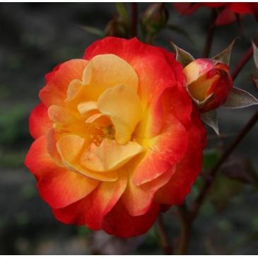 Троянда Кордес флорібунда FIREBIRD / Файєрбьорд, серія Рустік фото 1