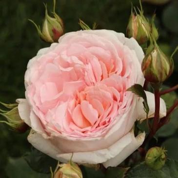 Троянда Кордес флорібунда MARCHENZAUBER / Мерхензаубер, серія Рустік фото 1