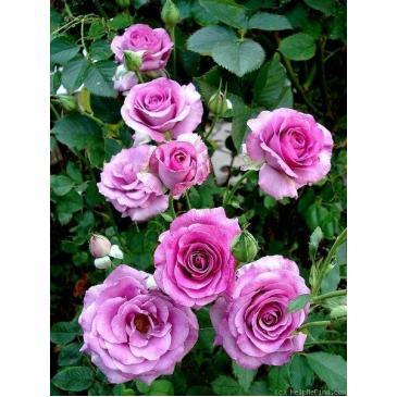Плетиста троянда FAMILY VIOLET фото 1