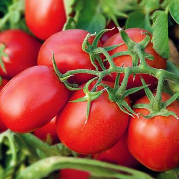 Томат низкорослый (детерминантный) Намиб F1, 15 сем. фото 1