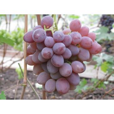 Виноград ФАВОР, серія Меррі Грін фото 1