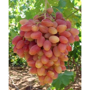 Виноград СИМПАТІЯ, серія Меррі Грін фото 1