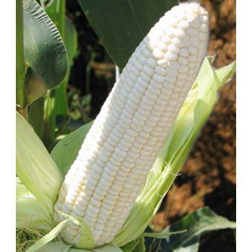 Кукурудза цукрова Білий Кролик F1, 100 нас. фото 1
