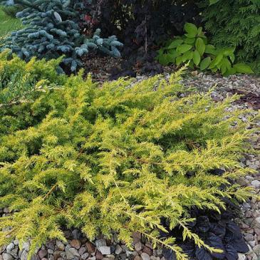Ялівець прибережний ОЛЛ ГОЛД / Juniperus conferta All Gold, контейнер 3 л фото 1