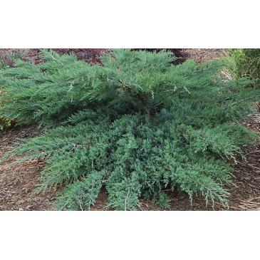 Ялівець віргінський ГРЕЙ ОВЛ / Juniperus virginiana Grey Owl, контейнер 3 л фото 1