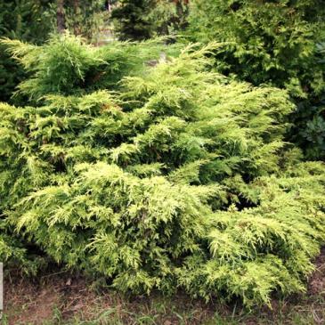 Ялівець середній ГОЛДЕН СОЙСЕР / Juniperus x media Golden Saucer, контейнер 3 л фото 1