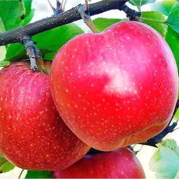 Яблуня ГАЛА ШНІГА фото 1